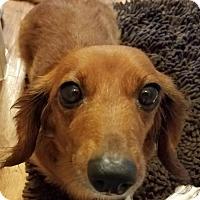 Adopt A Pet :: Midge Marie - San Antonio, TX