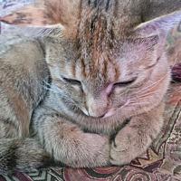 Adopt A Pet :: Faun-sassy girl - Los Angeles, CA