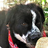 Adopt A Pet :: Bojangles - Godley, TX