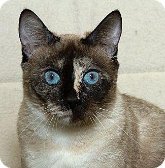 Siamese Cat for adoption in Sacramento, California - Clarice M