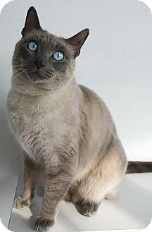 Siamese Cat for adoption in Los Angeles, California - Mishka