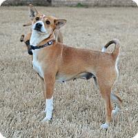 Adopt A Pet :: Foxy - Bedminster, NJ