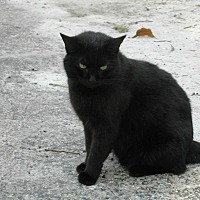 Domestic Shorthair Cat for adoption in Naples, Florida - Serena