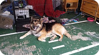 German Shepherd Dog Mix Dog for adoption in Missouri, Texas - Duke