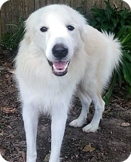 Great Pyrenees Dog for adoption in Kyle, Texas - Luna