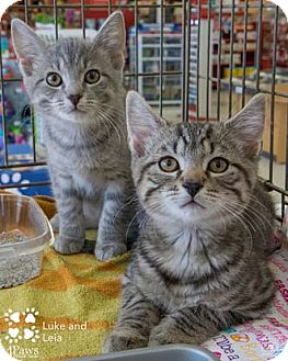 Domestic Shorthair Kitten for adoption in Merrifield, Virginia - Leia