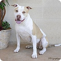 Adopt A Pet :: Sookie - Las Vegas, NV