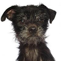 Adopt A Pet :: Little Man - oakland park, FL