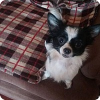 Adopt A Pet :: Patches - Lewistown, PA