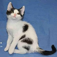 Adopt A Pet :: *DOLCE - Hanford, CA