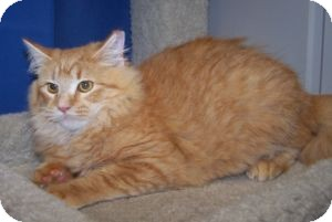 Maine Coon Kitten for adoption in Colorado Springs, Colorado - Hobbs
