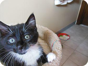 Domestic Shorthair Kitten for adoption in Southington, Connecticut - Bam Bam