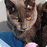 Adopt A Pet :: Bailey Blue - Palmdale, CA