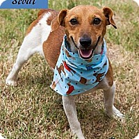 Adopt A Pet :: Scout in Oklahoma - Oklahoma City, OK