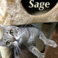 Adopt A Pet :: Sage - Huguenot, NY