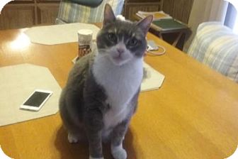 British Shorthair Cat for adoption in Redding, California - Tommy