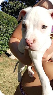 Pit Bull Terrier Mix Puppy for adoption in Baltimore, Maryland - Lily