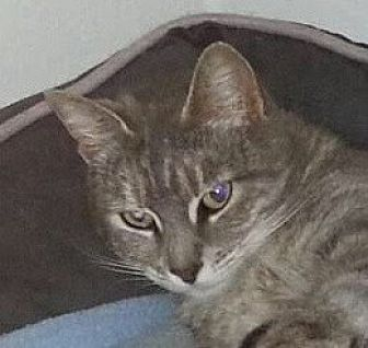 Domestic Shorthair Cat for adoption in Mobile, Alabama - *Onion