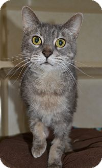 Domestic Shorthair Cat for adoption in Michigan City, Indiana - Bella
