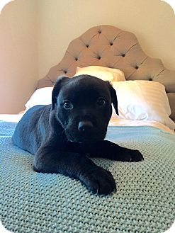 Rottweiler Mix Puppy for adoption in Concord, California - Harvey