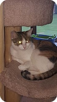 Domestic Shorthair Kitten for adoption in Salem, Ohio - Amelia