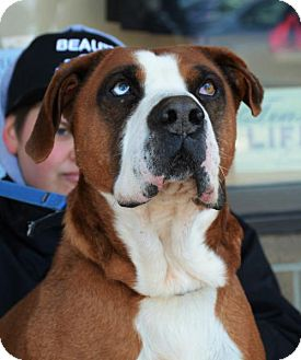 Boxer Mix Dog for adoption in Rockville, Maryland - Sunny