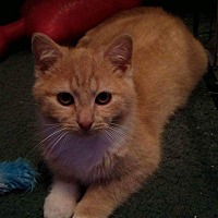 Adopt A Pet :: Tomtom&Tosie kittens - Clay, NY