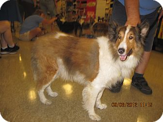 Sheltie, Shetland Sheepdog Dog for adoption in apache junction, Arizona - Cubby