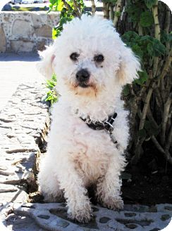 Poodle (Miniature) Dog for adoption in Irvine, California - Playful BRUCE