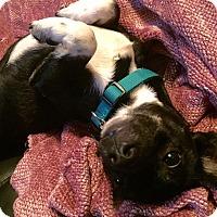 Adopt A Pet :: Gus - San Antonio, TX