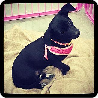 Chihuahua/Dachshund Mix Dog for adoption in Grand Bay, Alabama - Sunflower