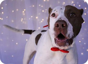 Pit Bull Terrier/Labrador Retriever Mix Dog for adoption in Phoenix, Arizona - Kingston