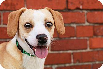 Dachshund/Corgi Mix Dog for adoption in Cincinnati, Ohio - Hatcher