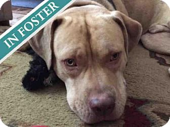 American Pit Bull Terrier Mix Dog for adoption in Brooklyn, New York - KING