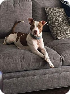 Pit Bull Terrier Mix Dog for adoption in Tomball, Texas - Sia
