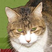 Domestic Shorthair Cat for adoption in Woodstock, Illinois - Queenie