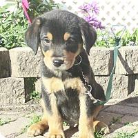 Adopt A Pet :: Sexton - West Chicago, IL