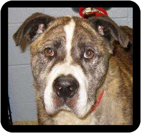Akita/American Pit Bull Terrier Mix Dog for adoption in Munster, Indiana - Petey