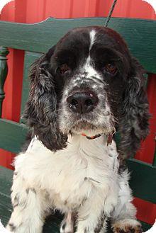 Cocker Spaniel Dog for adoption in Sugarland, Texas - Foreman