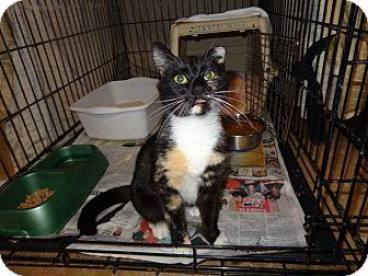 Domestic Shorthair Cat for adoption in Wakinsville, Georgia - Pandora