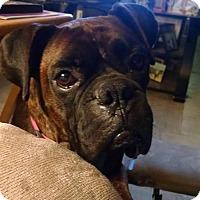 Adopt A Pet :: Piper Blue - Dayton, OH