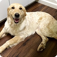 Adopt A Pet :: Goldie - New Canaan, CT