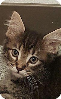 Domestic Longhair Kitten for adoption in Jacksonville, Florida - Sundance