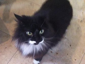 Domestic Longhair Cat for adoption in Montreal, Quebec - Betsy