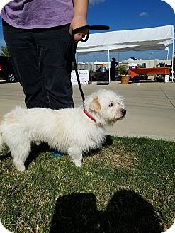 Terrier (Unknown Type, Small) Mix Dog for adoption in White Settlement, Texas - Bailey