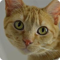 Domestic Shorthair Kitten for adoption in Freeport, Illinois - Cheddar