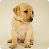 Adopt A Pet :: Daisy - Centreville, VA