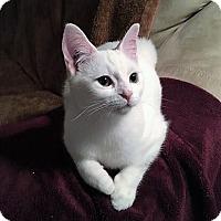 Adopt A Pet :: Dhaulagiri - Vancouver, BC