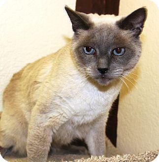 Siamese Cat for adoption in Casa Grande, Arizona - Mia