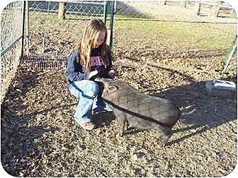 Pig (Potbellied) for adoption in Kaufman, Texas - Hawkeye